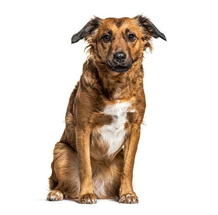 Sitting Crossbreed dog, isolated on white