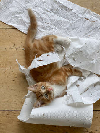Ginger Kitten, mixed-breed, playing with soft white paper 版權商用圖片 - 160814339