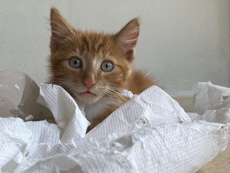 Ginger Kitten, mixed-breed cat, playing with soft white paper 版權商用圖片 - 160814340