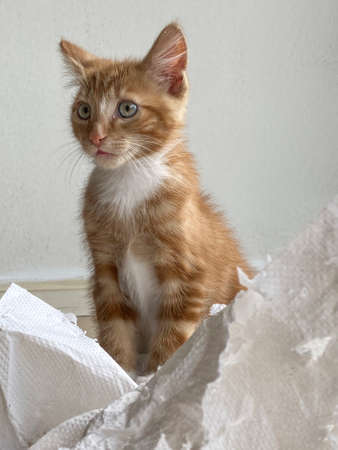 Ginger Kitten, mixed-breed cat, playing with soft white paper 版權商用圖片 - 160814342