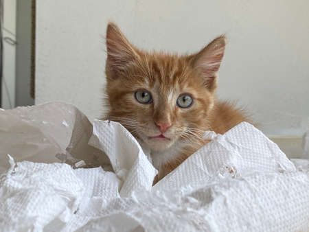 Ginger Kitten, mixed-breed cat, playing with soft white paper 版權商用圖片 - 160814343