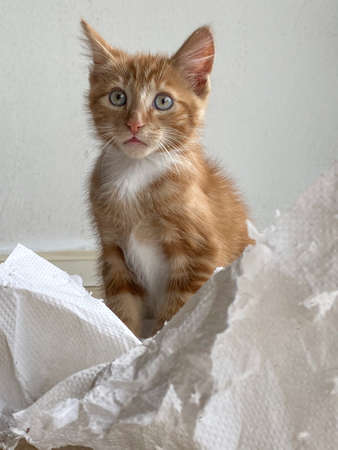 Ginger Kitten, mixed-breed cat, playing with soft white paper 版權商用圖片 - 160814348
