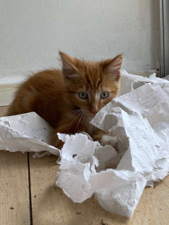 Top view of a Ginger Kitten, mixed-breed cat, playing with soft white paper 版權商用圖片 - 160814352