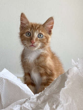 Ginger Kitten, mixed-breed cat, playing with soft white paper 版權商用圖片