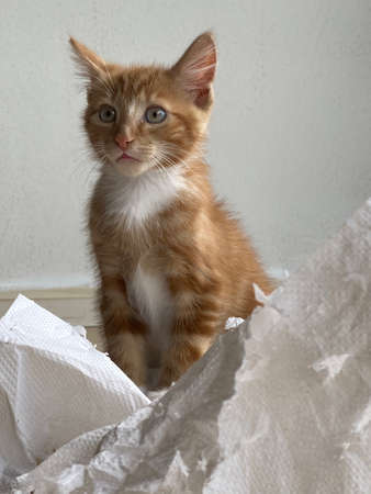 Ginger Kitten, mixed-breed cat, playing with soft white paper 版權商用圖片 - 160814358