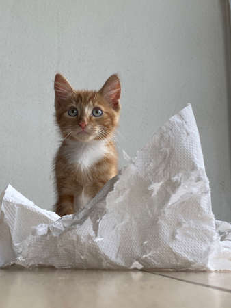 Ginger Kitten, mixed-breed cat, playing with soft white paper 版權商用圖片 - 160814359