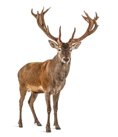 Red deer stag in front of a white background, remasterized 版權商用圖片 - 160814360