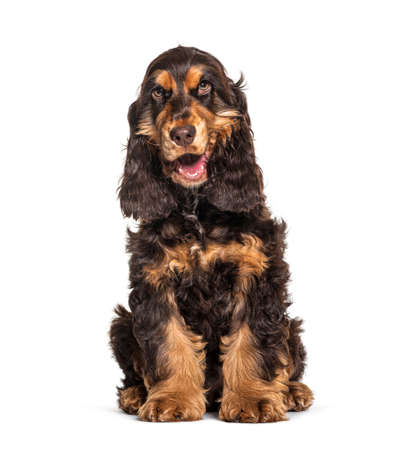 Panting Brown English cocker spaniel dog sitting isolated on white Imagens