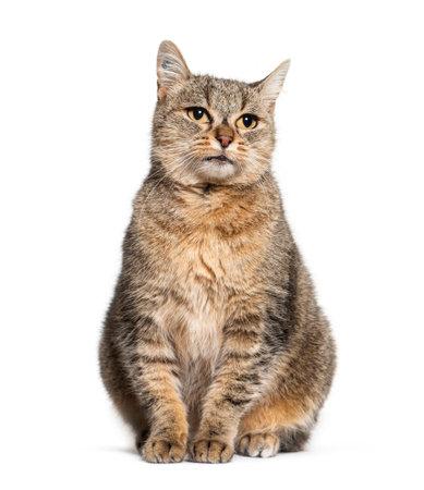 Sitting Crossbreed cat, isolated on white 版權商用圖片 - 160814366