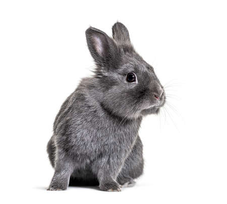 Gray young rabbit standing in front, isolated