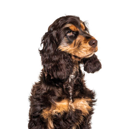 Head shot of Brown English cocker spaniel dog isolated on white 版權商用圖片 - 160814368