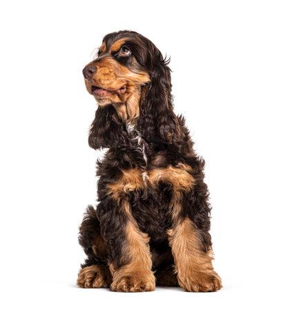 Brown english cocker spaniel dog isolated on white 版權商用圖片