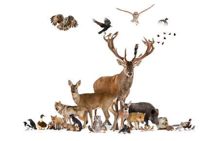 Large group of various european fauna animals, red deer, red fox, bird, rodent, isolated 版權商用圖片 - 160814370