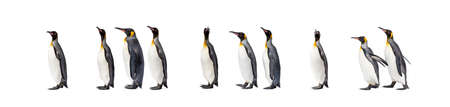 Colony of a King penguin walking together in a row 版權商用圖片 - 160814371