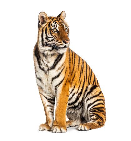 Tiger sitting isolated on white 版權商用圖片 - 160814372
