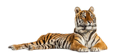 Tiger lying down isolated on white 版權商用圖片 - 160814375