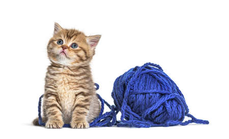 Kitten British Shorthair cat playing with a blue ball of wool 版權商用圖片 - 160814376