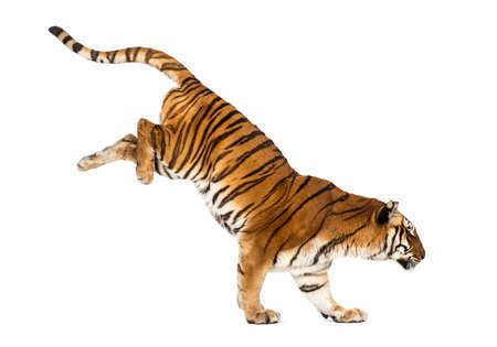 Tiger getting down a white box, isolated on white 版權商用圖片 - 160814378