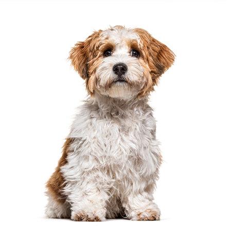 Sitting Puppy Havanese dog staring, 5 months old, isolated on white 版權商用圖片 - 160814379