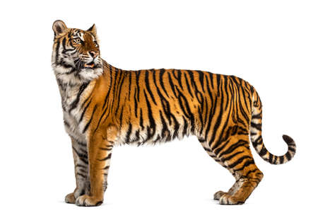 Side view, profile of a tiger standing, isolated on white background