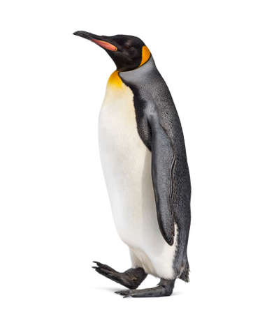 Side view of a King penguin walking, isolated on white 写真素材