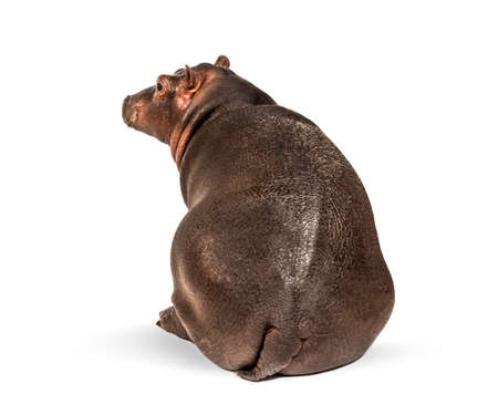 Rear view of a young Hippo, sitting, 3 months old Banque d'images