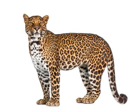 Portrait of leopard, Panthera pardus, standing against white background, studio shot, remasterized