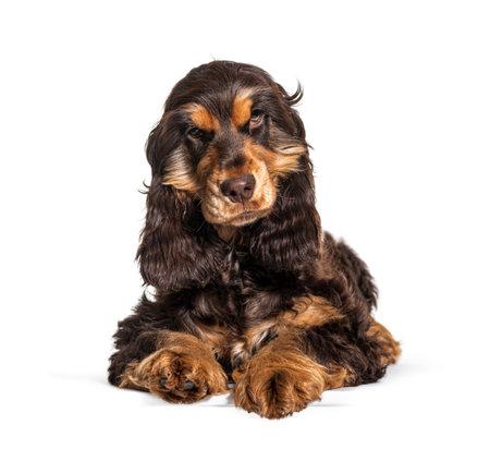 Lying Brown English cocker spaniel dog isolated on white background 版權商用圖片