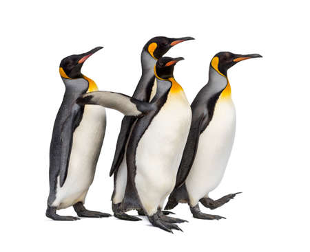 Colony of king penguins together, isolated on white background 版權商用圖片