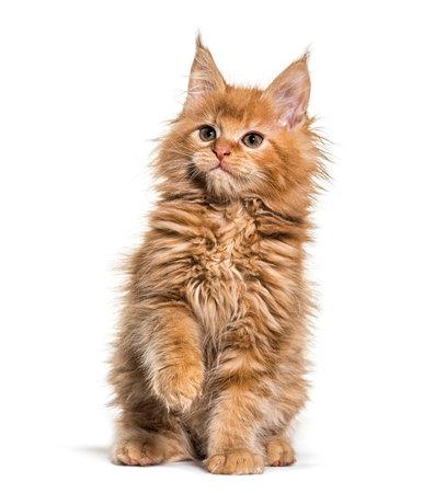 ginger maine coon kitten sitting 版權商用圖片