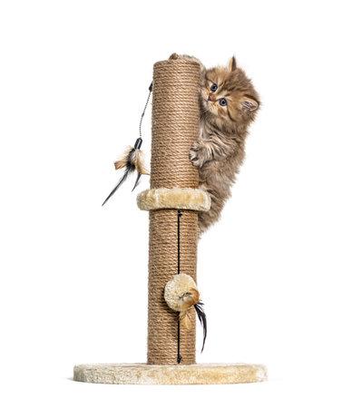 British longhair cat playiong on a cat trees 版權商用圖片 - 160764469