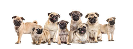 Group of young and adult pugs in a row, isolated on white 版權商用圖片