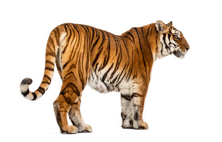 Back view of a Tiger looking away, isolated on white