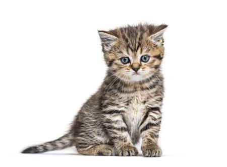 Cute British Shorthair Kitten, isolated on white background