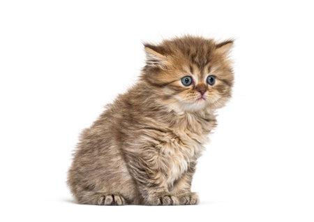 British longhair kitten sitting, isolated on white Stock Photo