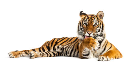 Tiger lying down and cleaning its paw, isolated on white