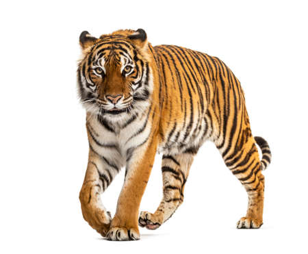 Tiger prowling, approaching and looking at the camera, isolated