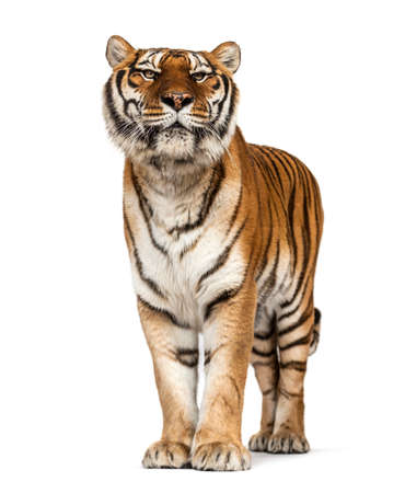 Tiger posing in front, isolated