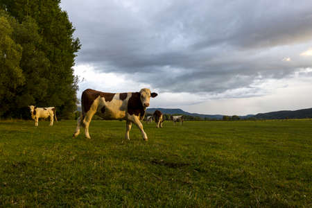 cow walking and looking at the camera during a beautiful sunset in a field