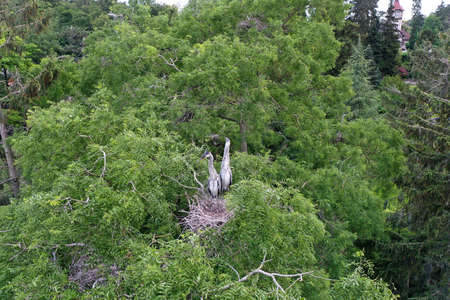 Aerial view of white stork, Ciconia ciconia, nesting on a top of a tree Stockfoto