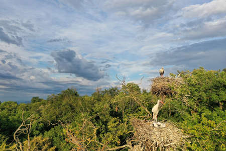 Aerial view of white stork adult and chicks, Ciconia ciconia, nesting on a top of a tree Stockfoto
