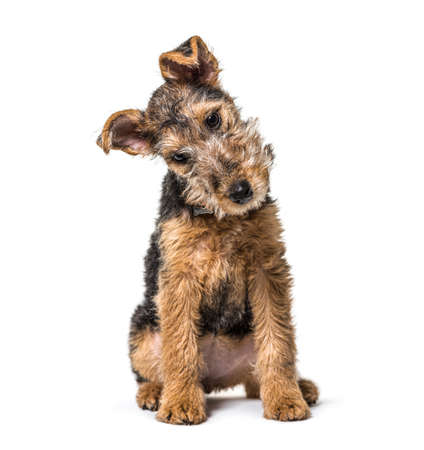 Young Grizzle and tan Lakeland Terrier dog sitting, 3 months old