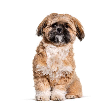 Groomed Beige Shih Tzu dog gromed, Isolated