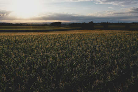 Backlight on path passing through a endless cornfield during summer sunset,