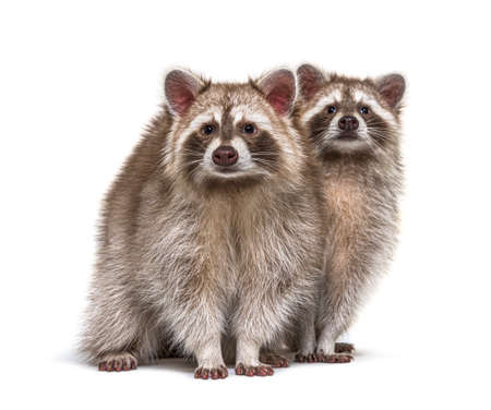 Two red raccoons sitting together, isolated on white