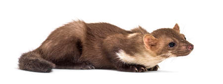 Side view of a Pine marten, isolated on white