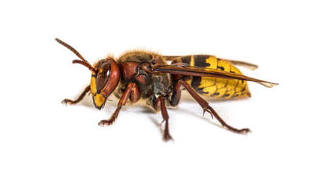 Side view, profile, Hornet, Vespa Crabro, isolated on white