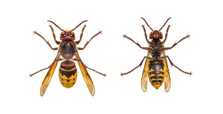 Bottom and high view of a european Hornet, isolated on white Stockfoto