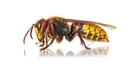 Side view of a Hornet, Vespa Crabro, isolated on white