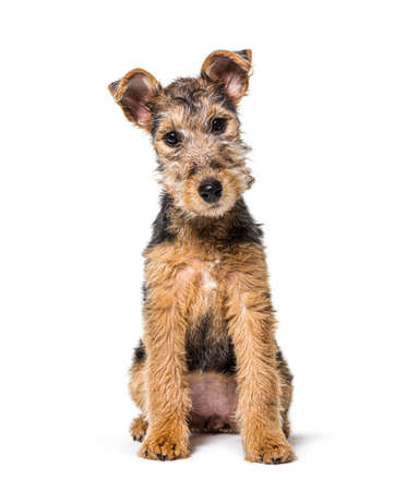 Young Grizzle and tan Lakeland Terrier dog sitting, three months old, isolated